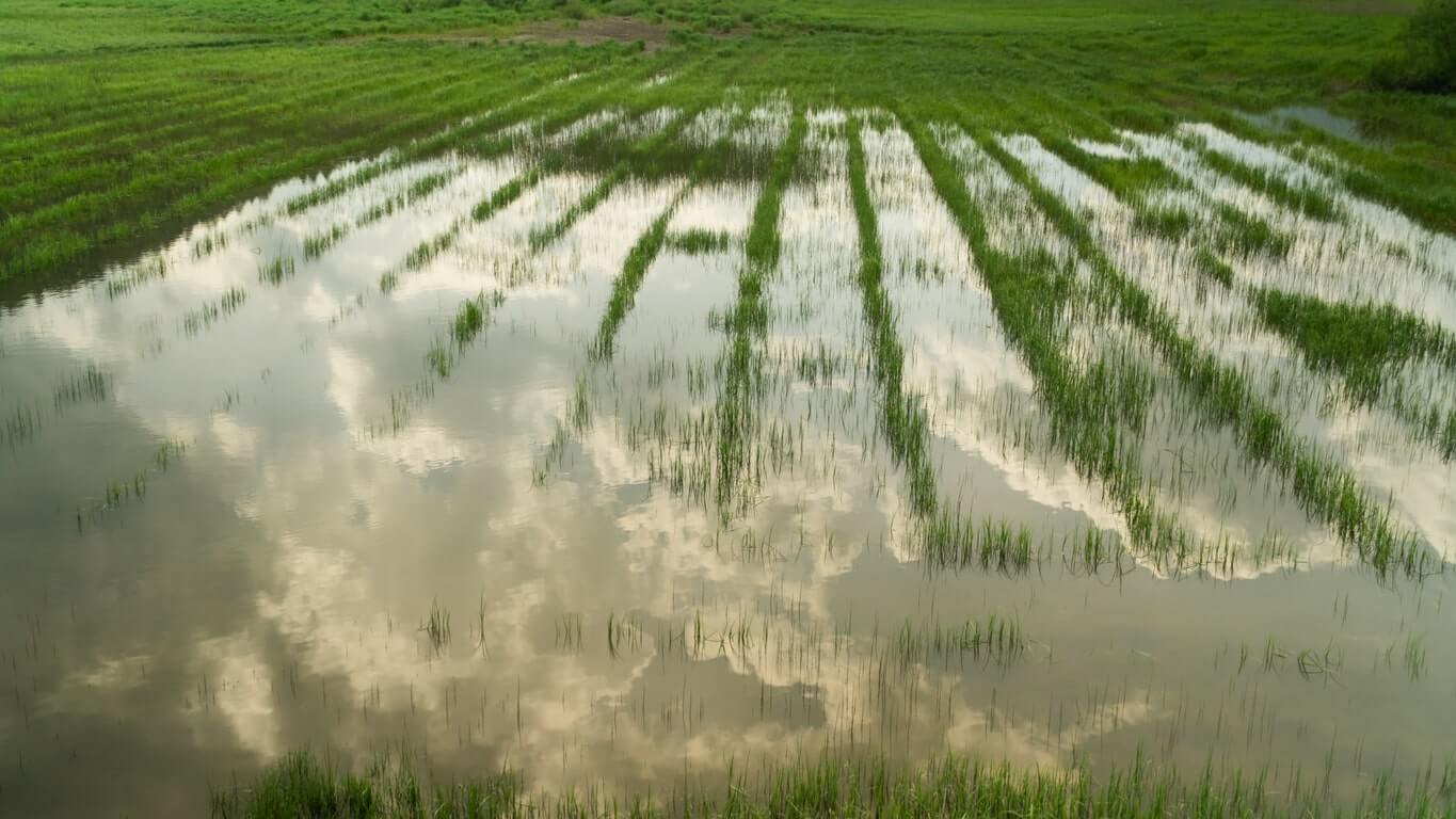 A rice field flooded by water irrigation