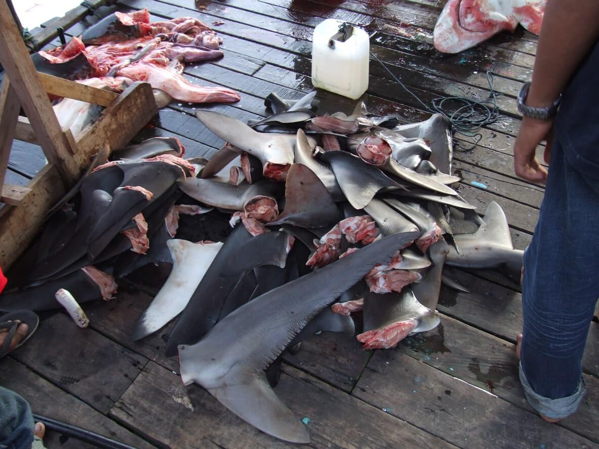 Amputated shark fins and parts as a result of overfishing
