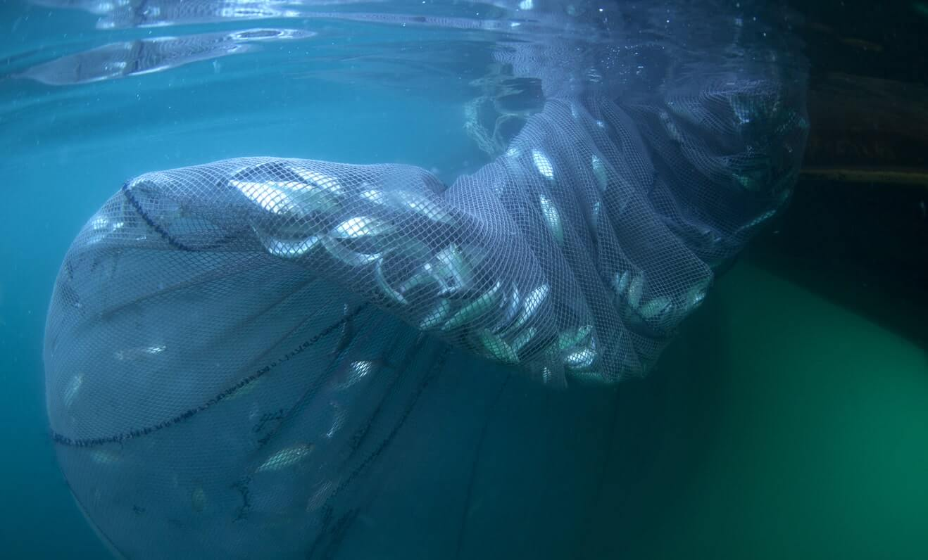 Thousands of fish caught in a trawl net as a result of overfishing