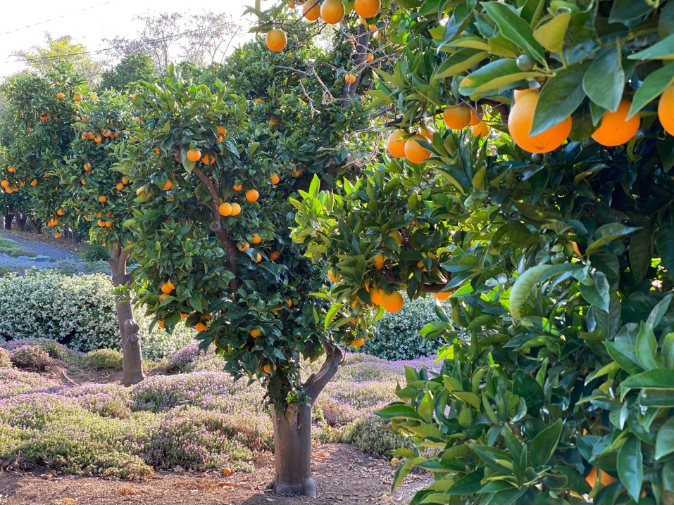 citrus orchards in texas ruined due to uri